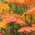 Maple Magic by Frank Townsley