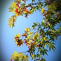 Maple Seeds In September by Cate Kirby