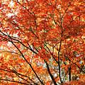 Maple Tree Foliage by Gaspar Avila