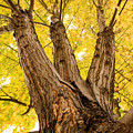 Maple Tree Portrait by James BO  Insogna