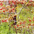 Maple Tree W C  by Peter J Sucy