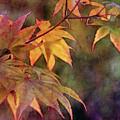 Maples Golden Glow 5582 Idp_2 by Steven Ward