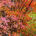 Maples In Pink by Jason Keefe