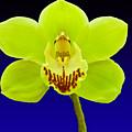 Mapplethorpe Flower by Matthew Bamberg