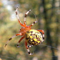 Marbled Orb Weaver by Joshua Bales