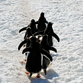 March Of Penguins by Gabriel Jardim