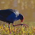 March Of The Swamphen by Mike  Dawson