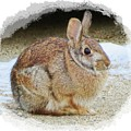 March Rabbit With Vignette by MTBobbins Photography