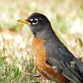 March Robin by Lizi Beard-Ward