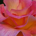 Mardi Gras Rose Macro by Emerald Studio Photography