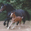 Mare And Foal by E Colin Williams ARCA