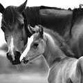 Mare And Foal In Black And White by Jim And Emily Bush
