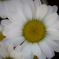 Marguerite Daisies by Teresa Mucha