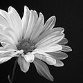 Marguerite Daisy by Kelly Holm