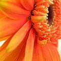 Gerbera Daisy by Shannon Turek