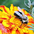 Marigold And The Bee by Jennifer Robin