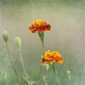 Marigold Fancy by Kim Hojnacki