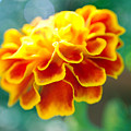 Marigold by Heather S Huston