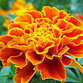 Marigold Photograph by Vicki Berchtold
