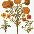 Marigolds, 1613 by Granger