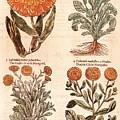 Marigolds by Granger
