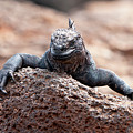 Marine Iguana by Robert Selin