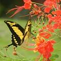 Mariposa Amazonica by Rhonda Allbrandt