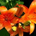 Marmalade Lilies by David Dunham