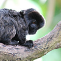Marmoset Sitting Perched In A Tree by DejaVu Designs