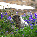 Marmot In The Wildflowers by David Lee Thompson