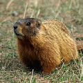 Marmot by James Peterson