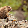 Marmot by Lana Trussell
