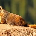 Marmot Life by Adam Jewell