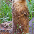 Marmot Love by Naman Imagery