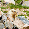 Marmot On Mount Massive Colorado by Steve Krull