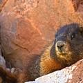 Marmot On The Rocks by Adam Jewell