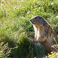 Marmot by Paul MAURICE