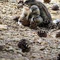 Marmot Stack by Taras Bekhta