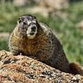 Marmot by Steven Parker