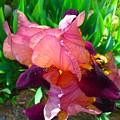 Maroon Iris Flower by Gary Simmons