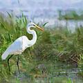 Marsh Egret by Betty LaRue