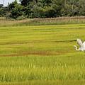 Marsh Egrets by Melissa Hicks