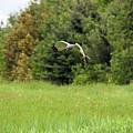 Marsh Hawk 2 by William Tasker