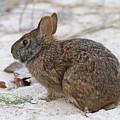 Marsh Rabbit On Dune by Paul Rebmann