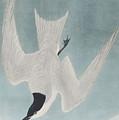 Marsh Tern by John James Audubon