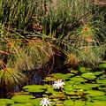 Marsh Waterlilies  by Zina Stromberg