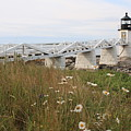 Marshall Point Daisies by Doug Mills