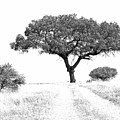 Marula Tree by Suzanne Morshead