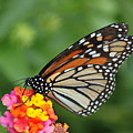 Marvelous Monarch  by Suzanne Gaff