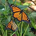 Marvelous Monarchs by Carol Bradley